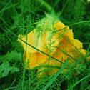 Zupa z kwiatów dyni